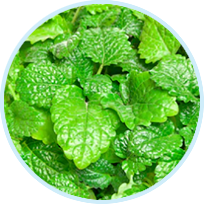 Melissa Officinalis (Balm Mint) Extract