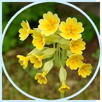 Primula Veris (Primula) Extract