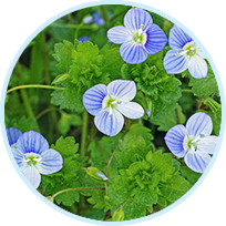 Veronica Officinalis (Speedwell Herb) Extract