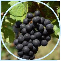 Vitis Vinifera (Grape) Fruit Extract