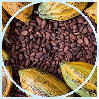 Phenocal ingredient - Cocoa Extract