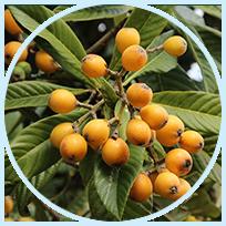 Eriobotrya Japonica Extract