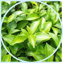 Phenocal ingredient - Green Tea Leaf Extract