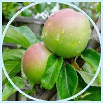 MalusDomestica Fruit Cell Culture